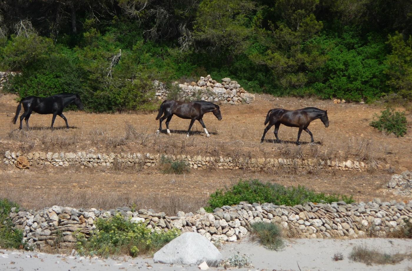 caballos-playa-binigaus-menorca