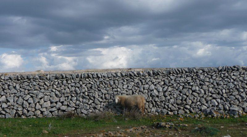 Oveja acorralada contra muro de paret seca