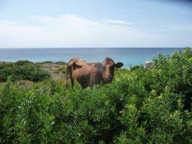 Vaca en el Tramo 15 del CDC